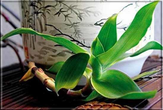 Золотой УС - лечебные свойства, настойка на водке для суставов, отзывы