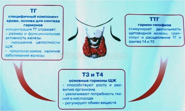 Что показывает анализ крови на ТТГ и Т4: расшифровка теста