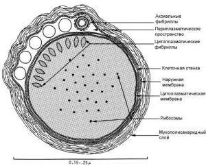 Как передается сифилис (при половом акте, через поцелуй, слюну)
