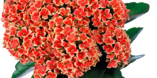 Каланхоэ от геморроя: целебные свойства, противопоказания, лечение геморроя каланхоэ, побочные эффекты, отзывы