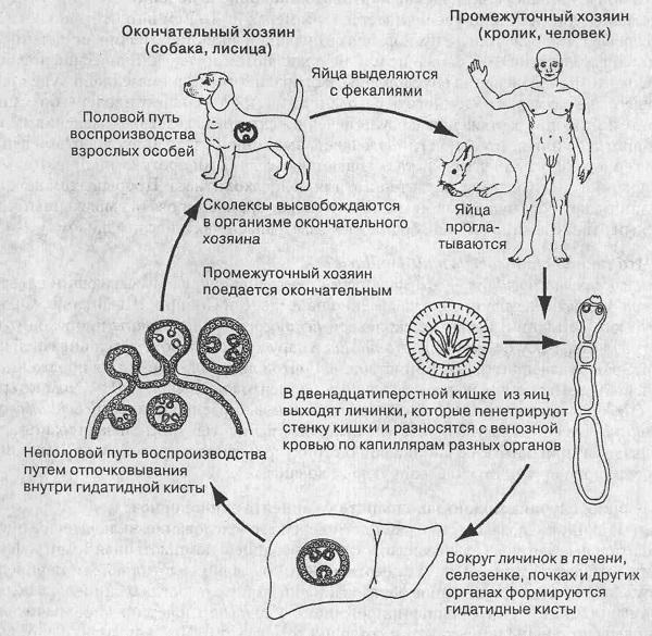 Эхинококк: размеры, жизненный цикл, окончательный и промежуточный хозяин