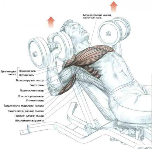 Тяга гантелей лежа на животе на скамье: видео и фото упражнения