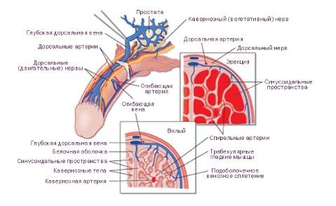 Влияние заболеваний позвоночника на потенцию: виды, особенности профилактики и лечения, возможные осложнения и последствия