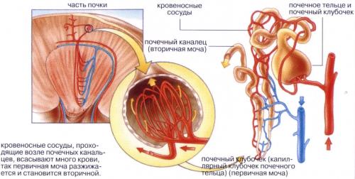 Несахарный диабет (мочеизнурение): причины, признаки, лечение, диагностика