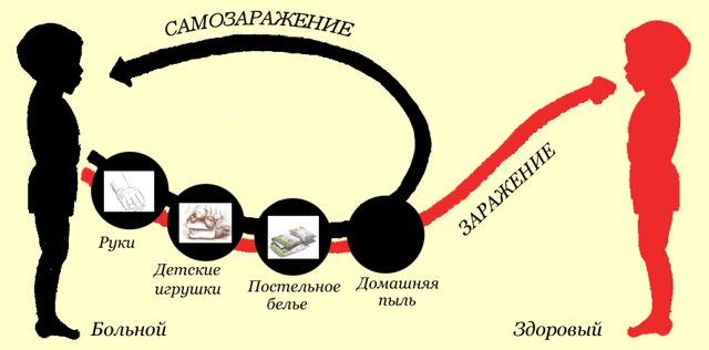Жизненный цикл развития и размножение человеческой аскариды