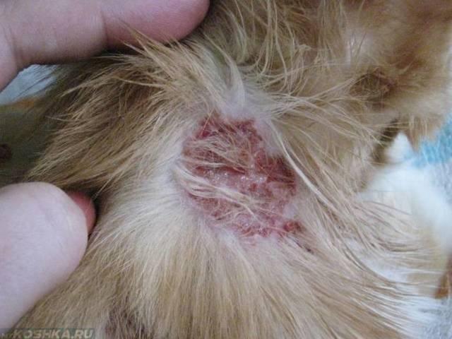 Экзема у кошек и собак: лечение
