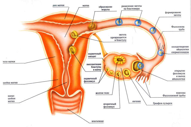 Через сколько дней после зачатия прикрепляется эмбрион