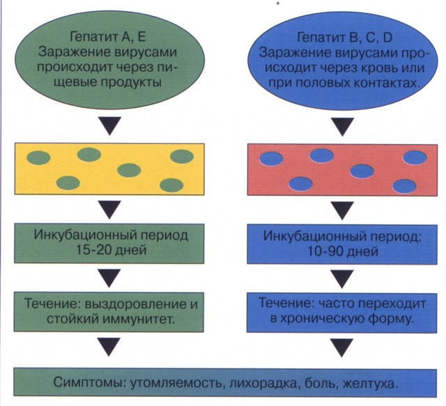 Виды (разновидности) гепатитов, способы заражения, пути передачи